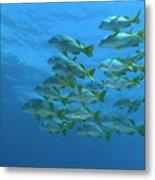School Of Yellowtail Grunt Underwater Metal Print