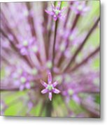 Schubert's Allium Metal Print