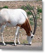 Scimitar Horned Oryx Metal Print