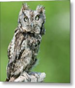 Scops Owl Metal Print