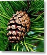 Scotch Pine Cone Metal Print