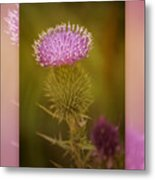 Scotch Thistle Metal Print