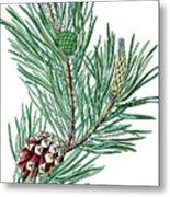 Scots Pine, Pinus Silvestris Metal Print