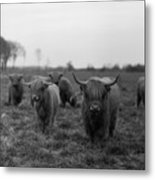 Scottish Highland Cattle On Field Metal Print by Stephan Ohlsen