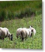 Scottish Sheep Metal Print