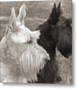 Scottish Terrier Dogs In Sepia Metal Print