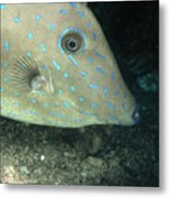 Scrawled Filefish Profile, Alutera Metal Print