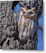 Screech Owl #1 Metal Print