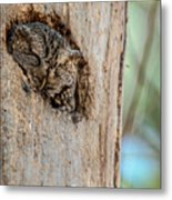 Screech Owl In A Tree Metal Print