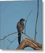 Scrub Jay Private Eye Metal Print