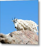 Scruffy Mountain Goat On The Mount Massive Summit Metal Print