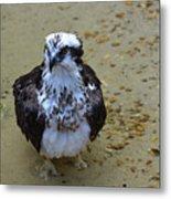 Sea Hawk Standing In Shallow Water Metal Print