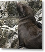 Sea Lion Close-up Metal Print