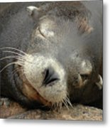 Sea Lion In San Francisco Metal Print