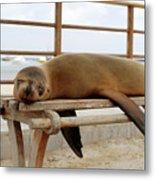 sea lion on a bench in Puerto Ayora, Santa Cruz Island, Galapagos Metal Print