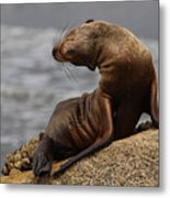 Sea Lion Pup Metal Print