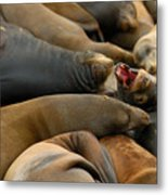 Sea Lions At Pier 39 San Francisco Metal Print