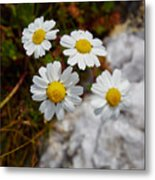 Sea Mayweed Metal Print