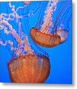 Sea Nettles Chrysaora Fuscescens In Metal Print