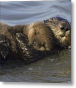 Sea Otter Mother With Pup Monterey Bay Metal Print