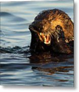 Sea Otter With A Toothache Metal Print