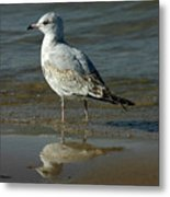 Seagull And His Reflection Metal Print