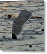 Seagull Cracking Open A Clam Metal Print by Gene Sizemore