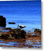 Seagull With Crab Metal Print