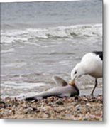 Seagulls Catch Of The Day Metal Print