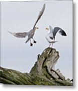 Seagulls In Dispute Metal Print