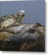 Seal Of Lover's Point Beach Metal Print by Atul Daimari