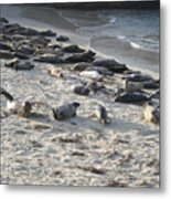 Seals, Seals, And More Seals Metal Print