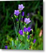 Seaside Gentian Wildflower  Metal Print