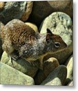 Seaside Ground Squirrel Metal Print