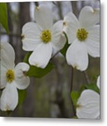 Season Of Dogwood Metal Print