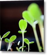 Seeding Shoots Coming Up From The Ground Metal Print