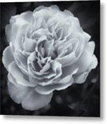Selenium White Rose Metal Print