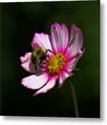 September Bee On Cosmos Metal Print