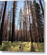 Sequoia Forest At Sunrise Metal Print