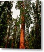 Sequoia In Kings Canyon Metal Print