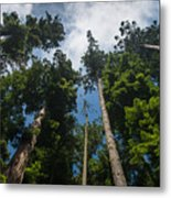 Sequoia Park Redwoods Reaching To The Sky Metal Print