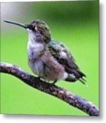 Shades Of Green - Ruby-throated Hummingbird Metal Print
