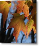 Shadowy Sugar Maple Leaves In Autumn Metal Print