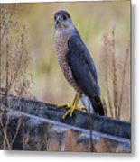 Shakerag Coopers Hawk Metal Print