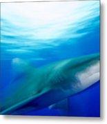 Shark In Rapid Motion Metal Print