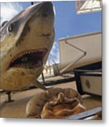 Shark On The Wall Metal Print