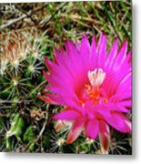 Pincushion Cactus - Coryphantha Vivipara Metal Print