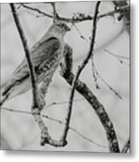 Sharp-shinned Hawk Black And White Metal Print