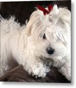 Shayla The Maltese Pup Metal Print