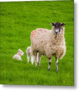 Sheep And Lambs Metal Print
